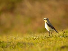 Collalba gris / Northern Wheatear / Oenanthe oenanthe (Zuritxuu) Tags: ave nikon p900 jaizkibel