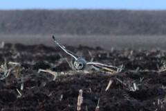 Short-eared Owl (rwkphotos) Tags: shortearedowl asioflammeus novascotia canada