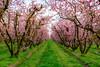 Blossoms (pn.praveen) Tags: fresno fresnoblossomtrail california blossoms stonefruitblossoms pinkblossoms orchard pink green