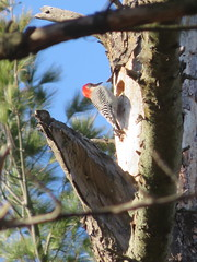 Red-bellied Woodpecker (D. S. Hałas) Tags: halas hałas canada ontario haltonregion haltoncounty oakville sedgewickforest chordata sarcopterygii aves piciformes picidae melanerpescarolinus redbelliedwoodpecker woodpecker bird