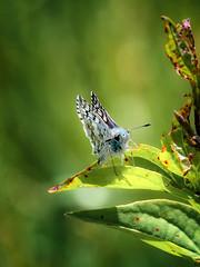 Blue-doo (Portraying Life, LLC) Tags: michigan unitedstates skipper butterfly pentax k1 da3004 meadow handheld closecrop nativelighting