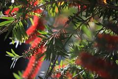 Flowers (43) (Polis Poliviou) Tags: naturepics naturephotography environment relax relaxing calming cyprus life living enjoyable colour colourful mediterranean travel beautyinnature rural countryside agricultural flowers plant floral flora winterblossom botany bulbs green wallpaper herbs cyprustheallyearroundisland cyprusinyourheart yearroundisland zypern republicofcyprus κύπροσ cipro кипър chypre ©polispoliviou2018 polispoliviou polis poliviou πολυσ πολυβιου flowerbulb flowerbulbs ranunculus petals garden gardening gardeners vase colors spring yellow florals blossoms love