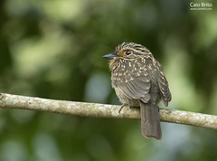 (Greater) Crescent-chested Puffbird (Malacoptila striata)