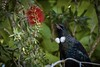 Tui at the bottlebrush (njohn209) Tags: birds d500 nikon nz