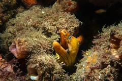 DENTAL EXAM? (scatrd) Tags: 2018 portstephens underwaterphotography australia morayeel rx100mkiv scuba rx100m4 nsw nelsonbay country underwater newsouthwales jasonbruth scubadiving sonyrx100mkiv sony rx100iv eel flypoint au
