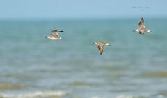 Flying Trio... (Anirban Sinha 80) Tags: nikon d610 fx 500mm f4 ed vrii g n 17tc 850mm bird wader wings inflight sea water beach endangered