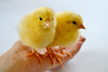 A little spring... (Maria Godfrida (absent)) Tags: 7dwf fauna animals chicks birds yellow closeup spring springtime two couple pair hand