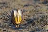 Sage Grouse (Amy Hudechek Photography) Tags: sagegrouse lek display mating spring colorado bird wildlife nature amyhudechek nikond500 nikon600mmf4