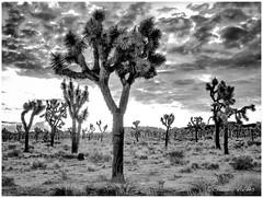 - Dawn at the Joshua Tree Forest - (claudiov958) Tags: biancoenero blackwhite blancoynegro california černýabílý claudiovaldés czarnyibiały desert landscape mediumformat mediumformatdigital ngc noiretblanc pentax645z pentaxart pentaxfa6453355mmf45 photoka pretoebranco rocks schwarzundweiss thecoloradodesert черноеибелое fa64555mmf28alifsdmaw