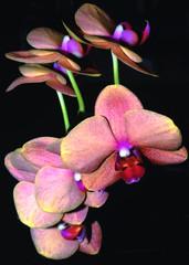 On Black (jnhPhoto) Tags: jnhphoto flowers orchids macro nikon 105mmf28