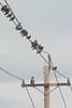 Uninvited Guest (tourtrophy) Tags: hawk pigeons electricpole birds sonya7r2 meyeroptikgörlitzorestor135mmf28