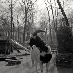 Portrait of a Goat (ucn) Tags: rheinmetallweltax tessar goat ziege berggerpancro400 filmdev:recipe=11570 agfastudional developer:brand=agfa developer:name=agfastudional