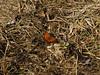 Nymphalis xanthomelas - Yellow-legged tortoiseshell (Cossus) Tags: nymphalidae nymphalinae nymphalis vanessa 2014 можайский