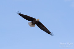 Female Bald Eagle stretches her wings - 2 of 30