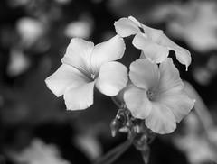 Légère (joboss83) Tags: fleur flower nature nb bokeh fuji jaune