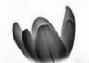 Crocus II (MortenTellefsen) Tags: 2018 april crocus krokus monochrome bw blackandwhite blackandwhiteonly flower norway norwegian nature natur norsk macro makro