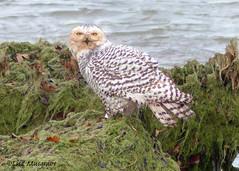 Snowy Owl! 5x7-C (LC10S) Tags: snowy owl lake chicago michigan beach montrose winter bath birdbath city