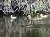 (chandira_h) Tags: duck ducklings muskrat sammamish bothell woodinville