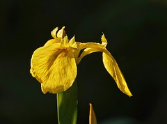 Flag Iris (Deepgreen2009) Tags: flagiris yellow beauty bright contrast pond garden home bloom brilliant spectacular head petals