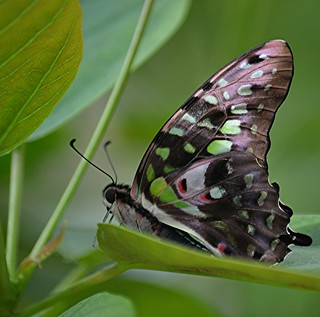 Graphium agememnon in a shady nook