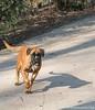 Boxer (Marjon van der Vegt) Tags: meerenbos zwanen eenden ijs koud zon langeharen rood boxer hond spiegel mooi zonnig