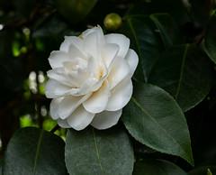 White shaded Camellia (dorian.blake@btinternet.com) Tags: white petals petal shade camellia blossoms whiteblossoms gardens