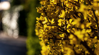 Yellow spring feelings | SONY �7III & Sigma 4/24~105mm Art on Sigma MC-11