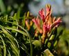 Hyazinthe (OK's Pics) Tags: blende18 blume blüte brennweite35mm49mm de deutschland garten hessen hyacinthus hyazinthe iso160 kameranikon1v3 mainzkostheim objektiv1nikkor185mmf18 pflanze wiesbaden zeit13200