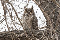 Male Great Horned Owl keeping watch
