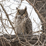 Male Great Horned Owl keeping watch thumbnail