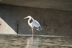 Great Blue Heron (Ed McKaveney) Tags: alleghenycounty bird environment fishing greatblue heron northpark pennsylvania
