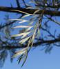 Graceful Grevillea (Cirrusgazer) Tags: leaf tree sunlight grevillea