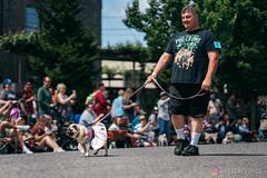 PugCrwal-76 (sweetrevenge12) Tags: portland oregon unitedstates us pug parade crawl brewing sony pugs dog pet