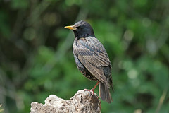 European Starling (Alan Gutsell) Tags: bird birds photo alan nature wildlife birding texasbirds texas migration gulfcoast canon european starling