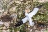 Gannet ...Cliff Hanger (Steve (Hooky) Waddingham) Tags: stevenwaddinghamphotography animal sea spring coast nature nest fishing flight fish wild wildlife