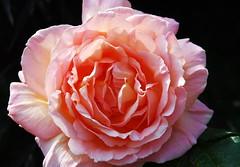 DSC_2451 (PeaTJay) Tags: nikond70s reading berkshire lowerearley outdoors gardens flowers plants fuchsia rose roses rosebuds