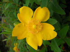 Flor (miguelang_ldb) Tags: flor flower londres london verano summer amarillo yellow verde green macro