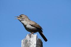 House Wren (Troglodytes aedon) and blue sky (jlcummins - Washington State) Tags: bird wildlfie washingtonstate yakimacounty bethelridge nature canon tamronsp150600mmf563divcusd