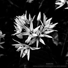 Ramsons (...She) Tags: ramsons plants flower wildflower nature blackandwhite monochrome mood moody flora flowers