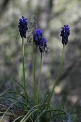 Muscari neglectum (esta_ahi) Tags: torrellesdefoix muscari neglectum muscarineglectum liliaceae flor flora flores silvestres blue penedès barcelona españa spain испания