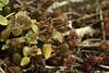 Wildflowers Matter (gripspix (OFF)) Tags: 20180331 nature natur flower blume blüte blossom wildflower wildblume macro makro nikkor nikkoranalogue1850mm vintage zwischenring extensiontube