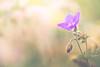 Little violet splendor (marcmyr) Tags: nature flower bokeh soft spring warm peaceful green violet bright 90mm tamron nikon d610 macro blossom