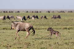 The first run is a little unsteady (Ring a Ding Ding) Tags: africa connochaetes ndutu nomad serengeti tanzania action baby calf migration nature safari survival wildebeest wildlife shinyangaregion coth