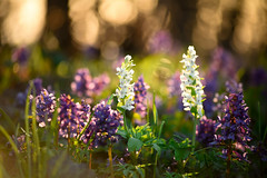 spring in the woods (cosovan vadim) Tags: spring wood flower white violet bokeh grass backlight nature nikon d750 sigma 70300mm sunset