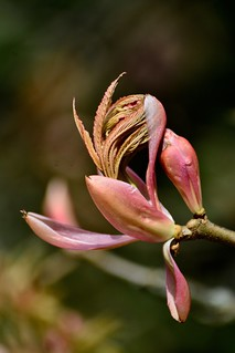 Emergence - Red Buckeye