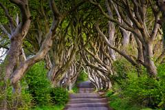 Dark Hedges #3 (efgepe) Tags: 2018 irland lightroom mai dark hedges darkhedges gameofthrones farbe color colour bäume tree trees buche buchen nordirland northern ireland 200mm