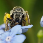 Solitary Bee on Tiny Blue Flower (#2) thumbnail