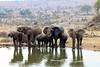 watering hole at the ritz (SusanKurilla) Tags: wildlife africa kenya tanzania wild safari adventure elephant family water wateringhole