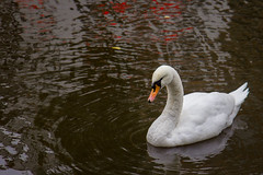 Red Light Swan (irrational.photography) Tags: rational irrational irrationalphoto irrationalphotography rationalphotography photography irrationalphotographyrationalphotography