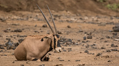 Tsavo-West-Nationalpark-2415 (ovg2012) Tags: baisaoryx beisaoryx kenia kenya oryxbeisa tsavowestnationalpark